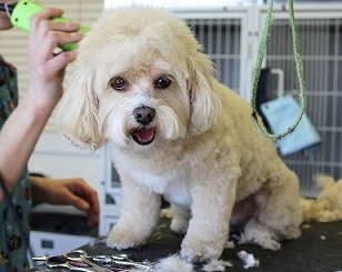 Small white dog sits patiently while getting groomed