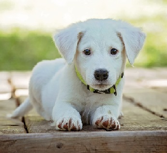 White furry puppy looks intently at the camera