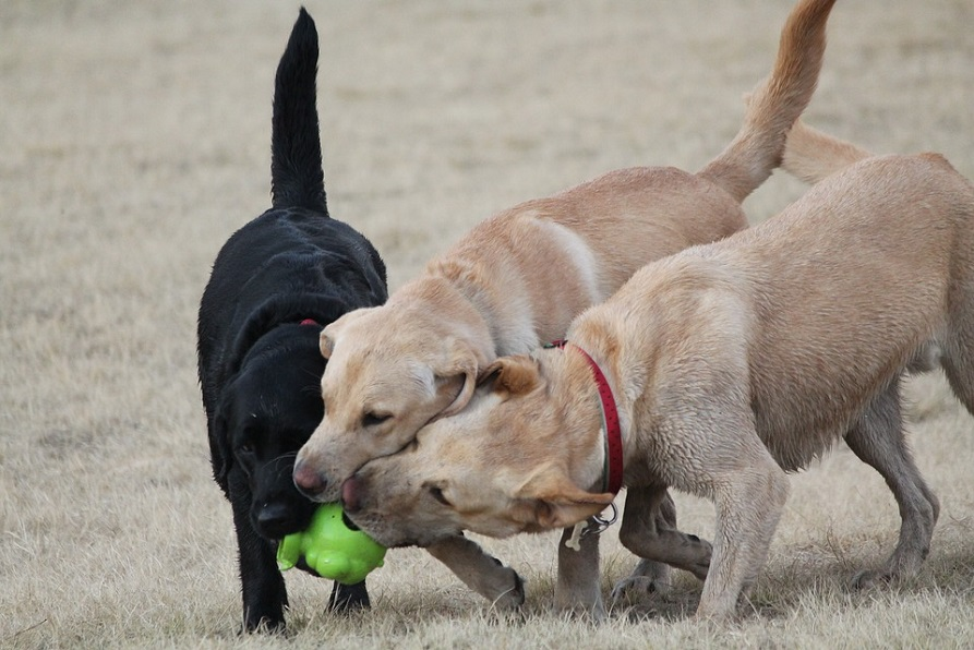 Three dogs playing with one toy